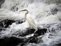 Eastern great egret in river rapids 6. An eastern great egret, ardea alba modesta, stands in the rapids of the Sakai River in Yokohama, Japan stock photography