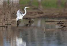 Great Egret landing in wetland royalty free stock images