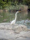 Eastern great egret,Ardea alba modesta. A white heron in the genus Ardea royalty free stock photos