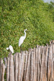 Eastern Great Egret Stock Photography