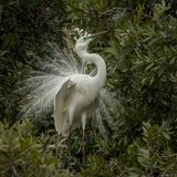 The eastern great egret Ardea modesta in breeding plumage. The eastern great egret Ardea modesta displaying its breeding plmageis a large heron with all-white stock image