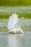 Eastern Great Egret (Ardea modesta) head in the water for hunting fish. Joking position in nature royalty free stock photo