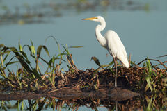 Eastern Great Egret royalty free stock photo