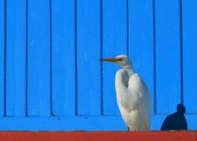 Eastern Great Egret with blue background royalty free stock photos