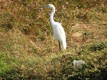 Eastern great egret. Also called as Ardea alba modesta, common egret, large egret or great white egret or great white heron stock photo