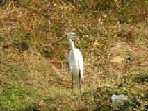 Eastern great egret stock photos