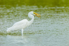 Eastern Great Egret with fish in her mount Royalty Free Stock Image