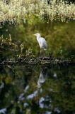 Eastern Great Egret Royalty Free Stock Images