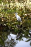 Eastern Great Egret Stock Image