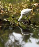 Eastern Great Egret fishing Stock Photos