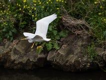 Eastern great egret in flight 1. An eastern great egret, ardea alba modesta, flies over the Sakai River in Yokohama, Japan royalty free stock photos