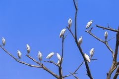 Eastern great egret. A flock of eastern great egrets -Ardea alba modesta- resting on the braches of an old tree, against a blue sky stock photos