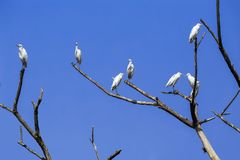 Eastern great egret. A flock of eastern great egrets -Ardea alba modesta- resting on the braches of an old tree, against a blue sky royalty free stock images