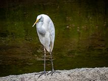 Eastern great Egret in a Japanese river. An eastern great egret, Ardea alba modesta, stands on a piece of concrete in the center of the Sakai River in Yokohama stock photos