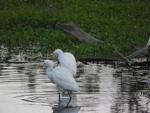 Eastern great egret in pond. Eastern great egret also called as Ardea alba modesta, common egret, large egret or great white egret or great white heron royalty free stock photos
