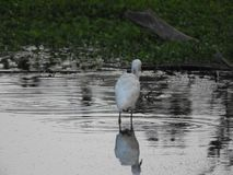 Eastern great egret in pond. Eastern great egret also called as Ardea alba modesta, common egret, large egret or great white egret or great white heron stock images