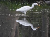 Eastern great egret in pond. Eastern great egret also called as Ardea alba modesta, common egret, large egret or great white egret or great white heron royalty free stock photography