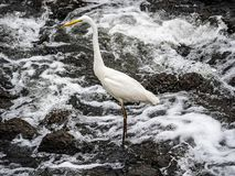 Eastern great egret in river rapids 1. An eastern great egret, ardea alba modesta, stands in the rapids of the Sakai River in Yokohama, Japan stock photography