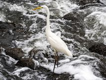 Eastern great egret in river rapids 2. An eastern great egret, ardea alba modesta, stands in the rapids of the Sakai River in Yokohama, Japan stock images