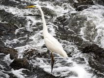 Eastern great egret in river rapids 3. An eastern great egret, ardea alba modesta, stands in the rapids of the Sakai River in Yokohama, Japan royalty free stock images