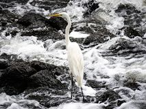 Eastern great egret in river rapids 4. An eastern great egret, ardea alba modesta, stands in the rapids of the Sakai River in Yokohama, Japan royalty free stock image