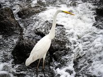 Eastern great egret in river rapids 5. An eastern great egret, ardea alba modesta, stands in the rapids of the Sakai River in Yokohama, Japan royalty free stock photo