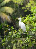 Eastern Great Egret Stock Photo