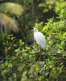 Eastern Great Egret Stock Photos