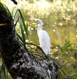 Eastern Great Egret Stock Images
