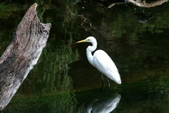 Eastern Great Egret 1. Eastern great egret standing in the water, waiting for its prey Stock Photos