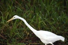 Eastern Great Egret, Yellow River, Australia Royalty Free Stock Photo