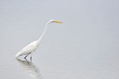 Eastern Great White Egret Stock Photography