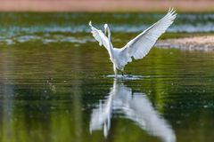 Eastern Great White Egret royalty free stock photography