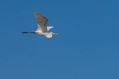 Eastern Great White Egret stock photo