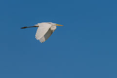 Eastern Great White Egret stock image