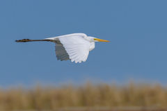 Eastern Great White Egret royalty free stock images