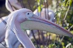 Eastern Great White Pelican Stock Photography