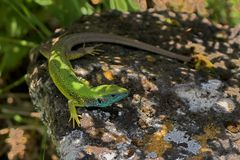 Eastern green lizard. The photo shows an eastern green lizard sitting on a rock Stock Photography