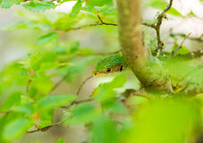 Eastern Green lizard on tree Royalty Free Stock Photography