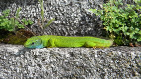 Lacerta viridis Royalty Free Stock Photo