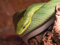Eastern Green Mamba on the Branch of Tree Stock Image
