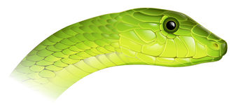 Eastern Green Mamba Stock Photo