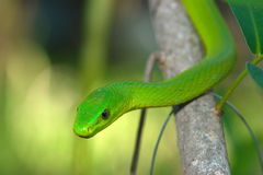 Eastern Green Mamba. An Eastern green mamba sizing up a potential prey Stock Photography