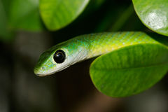 Eastern green snake royalty free stock image