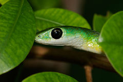 Eastern green snake Royalty Free Stock Photos