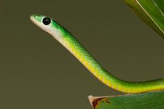 Eastern green snake Royalty Free Stock Photography