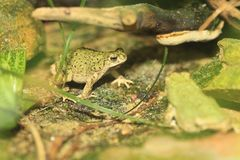 Eastern green toad. On the rock Royalty Free Stock Images