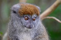Eastern grey bamboo lemur, Madagascar Stock Photos