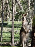 Eastern Grey Kangaroo. Standing up in the bush Stock Images