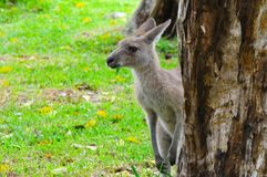 Eastern Grey Kangaroo Stock Photography
